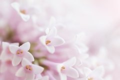 Beautiful tender gentle delicate flower background with small pink flowers. Horizontal. Copy Space.